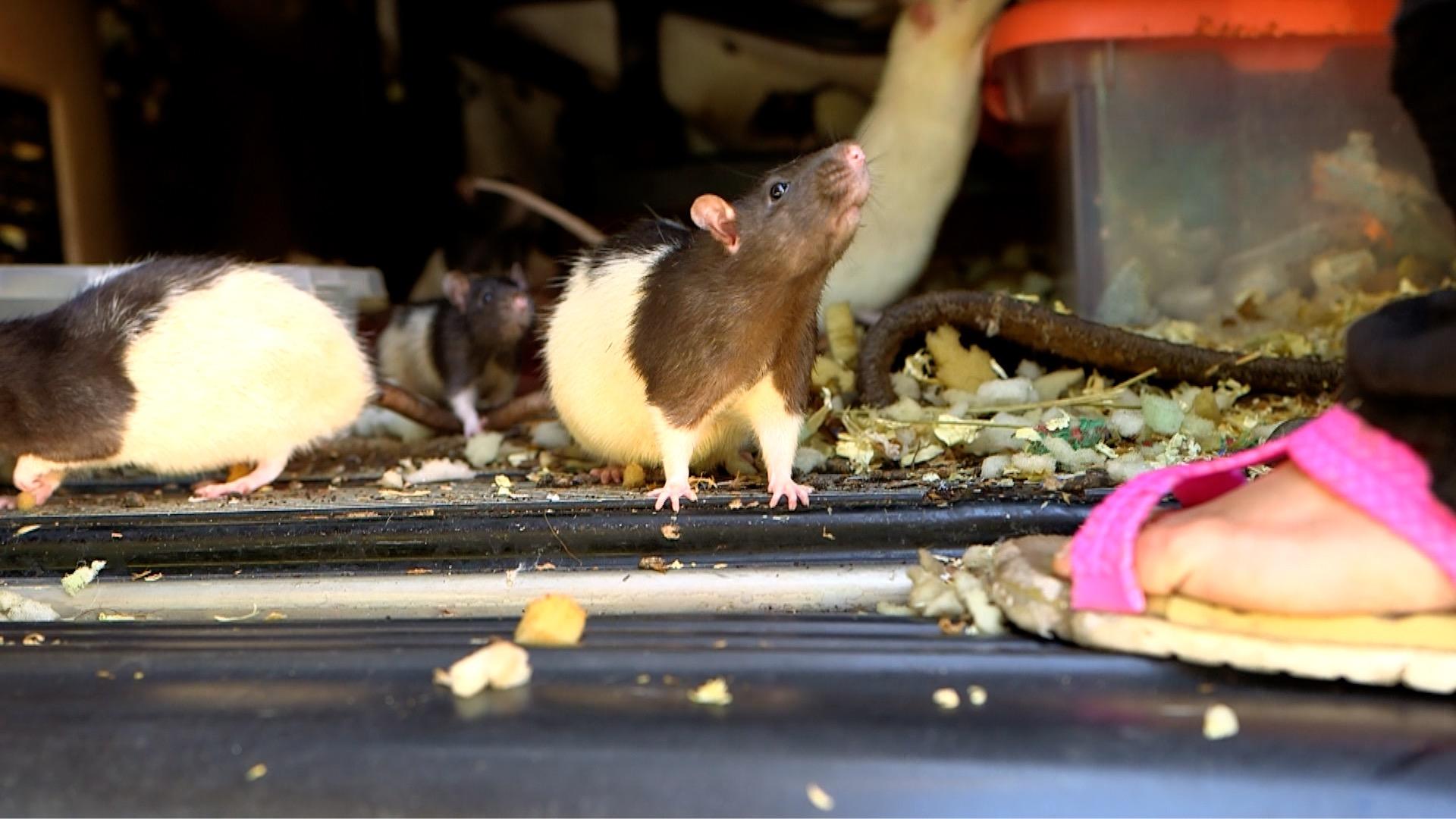 Mujer de San Diego acepta entregar sus mascotas: 320 ratas