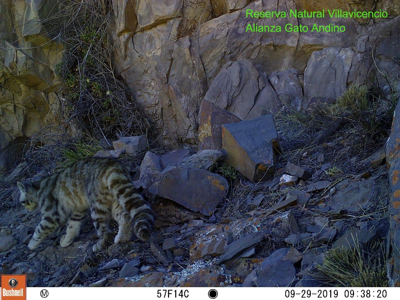 Avistan en Mendoza a un felino en serio peligro de extinción