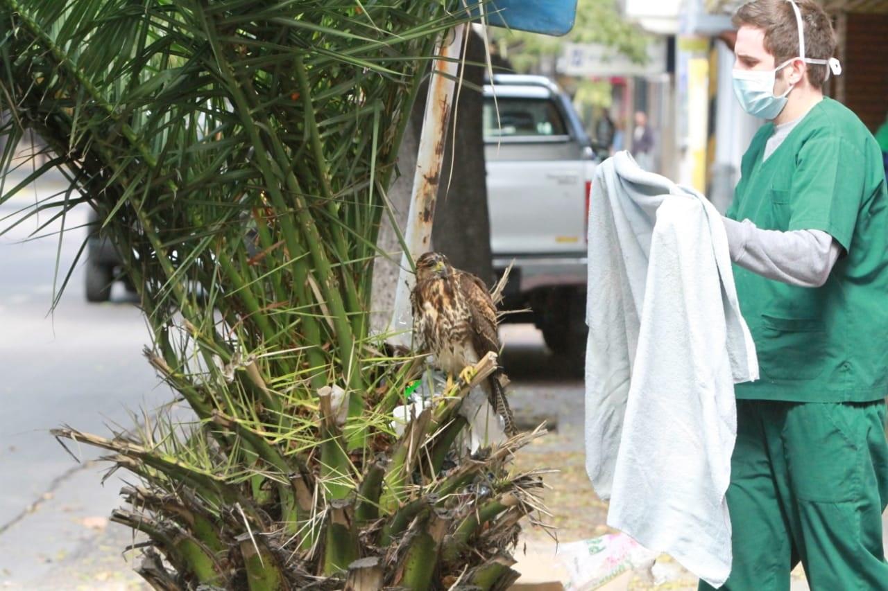Un gavilán mixto apareció en la cuarentena en la calle Rioja.