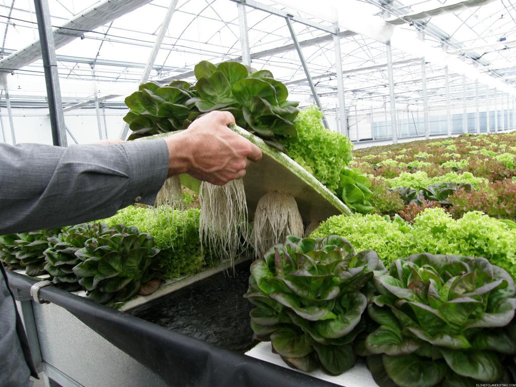 Que Son Los Cultivos Hidroponicos Elsolcomar Diario De - Cultivo-hidroponicos