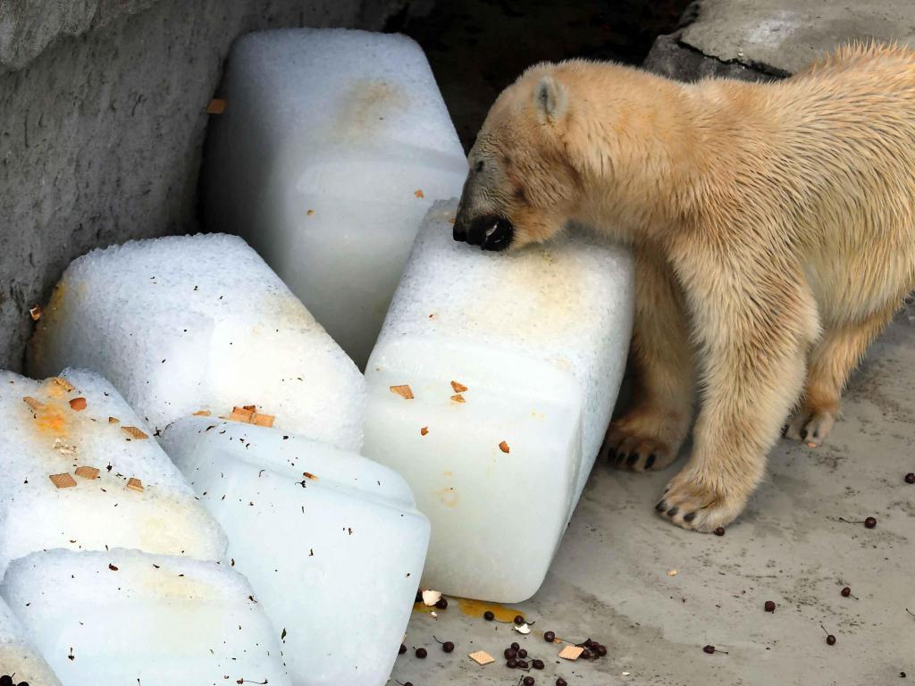 Fotos: así sobreviven los osos polares con 40º C en un